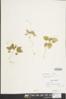 Circaea alpina image