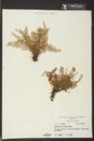 Asplenium verecundum image