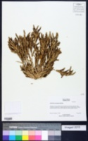 Image of Orcuttia pilosa