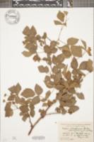 Image of Rubus whartoniae