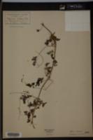 Image of Adlumia cirrhosa