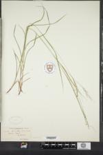 Carex aestivalis image