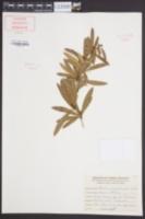 Berberis sargentiana image