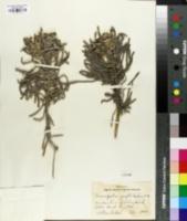 Image of Tournefortia gnaphalodes