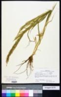 Eragrostis japonica image