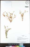 Juncus bufonius var. congestus image