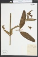 Image of Chelone montana