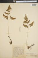 Image of Dryopteris robertiana