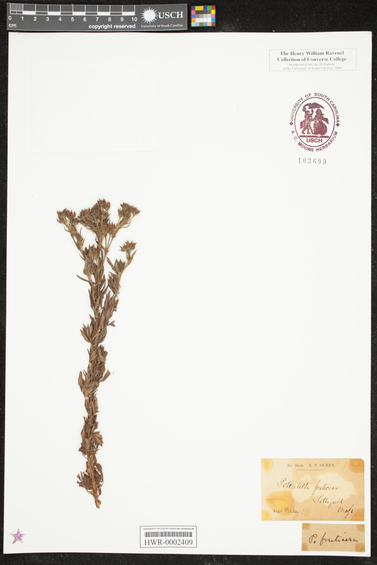 Dasiphora floribunda image