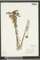 Marshallia graminifolia image