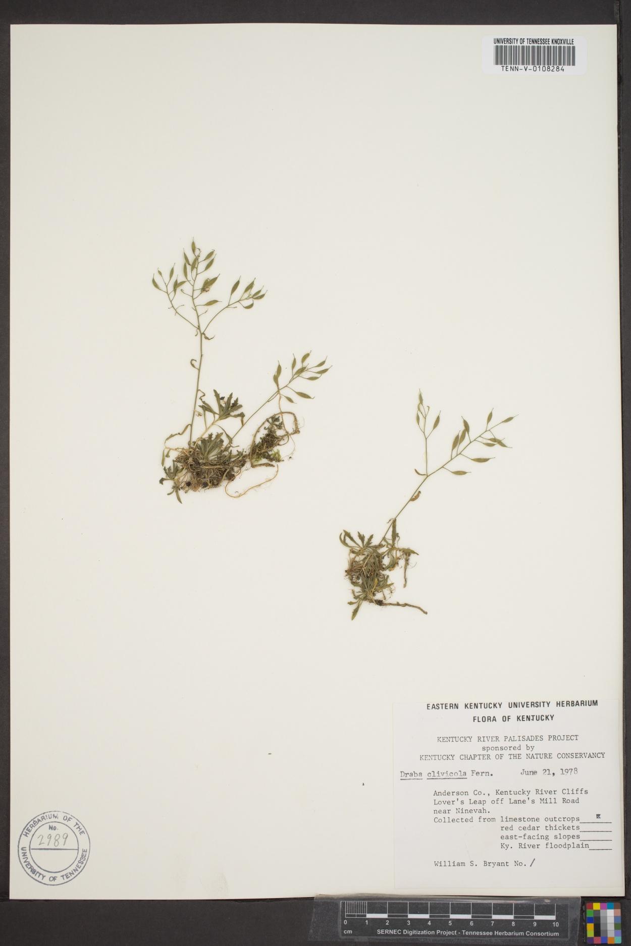 Draba clivicola image