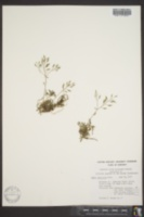 Image of Draba clivicola