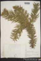 Cunninghamia lanceolata image