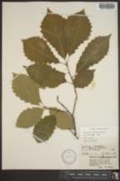 Quercus montana image