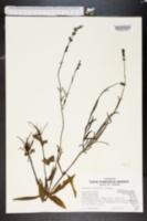 Image of Buchnera floridana