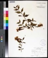 Image of Thunbergia erecta