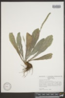 Image of Plantago floccosa