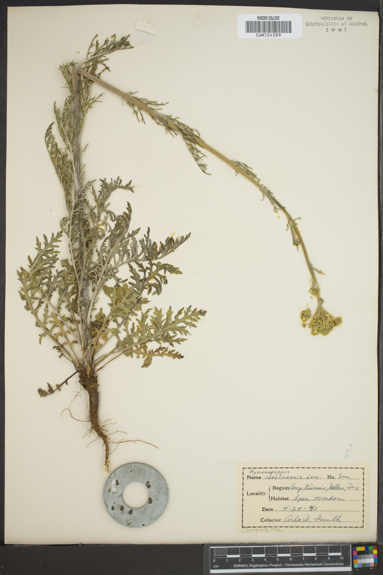 Hymenopappus carolinensis image