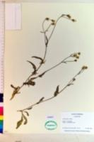 Crepis setosa image