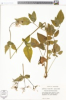 Image of Centranthus calcitrapa