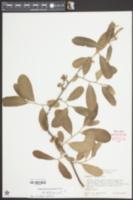 Image of Asimina nashii
