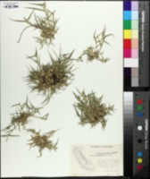 Image of Sporobolus niliacus