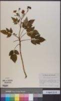 Image of Bidens macrocarpa