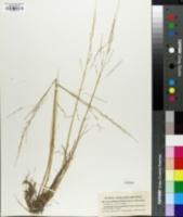 Image of Puccinellia laurentiana