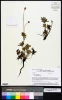 Anemone multifida var. hudsoniana image
