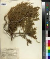 Image of Juniperus excelsa
