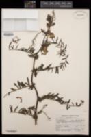 Vicia nigricans image