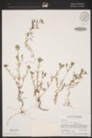 Cryptantha clevelandii image