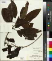 Image of Petitia domingensis