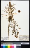 Image of Erysimum concinnum