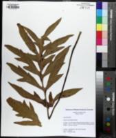 Silphium pinnatifidum image