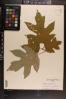 Hydrangea quercifolia image