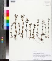Houstonia purpurea image
