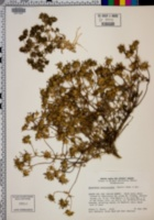 Navarretia atractyloides image