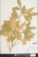 Glycine max image