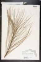 Casuarina lepidophloia image