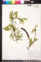 Acacia nilotica image