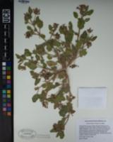 Abronia villosa var. villosa image