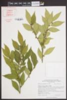Sarcococca orientalis image