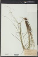 Carex leersii image