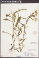Chrysopsis mariana image