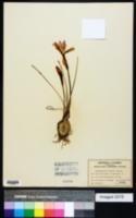Zephyranthes simpsonii image