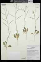 Brassica tournefortii image