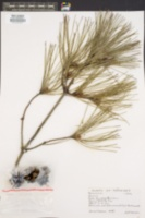 Image of Pinus densiflora