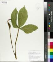 Image of Pinellia tripartita