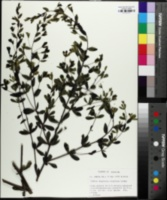 Baptisia calycosa image